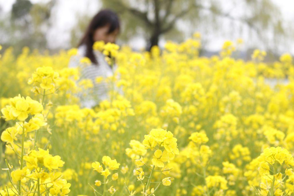 写真:菜の花