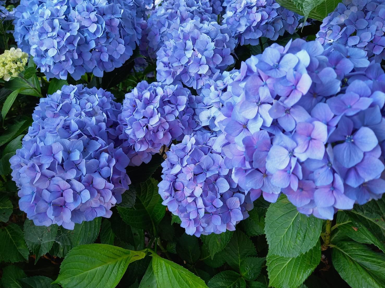 写真:紫の紫陽花